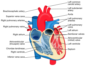 Anatomy of the heart and blood flow