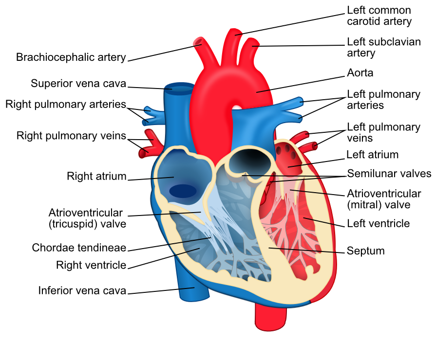 Anatomy of the heart |